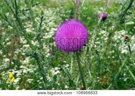 Musk Thistle Flower