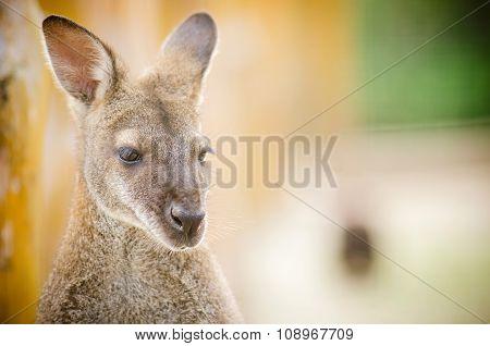 portreit of kangaroo