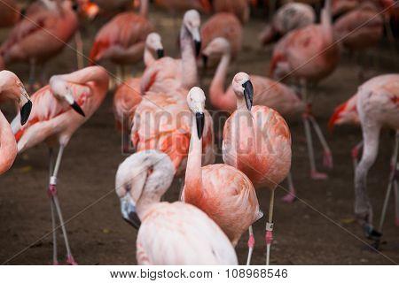 Group of pink flamingos in its natural environment