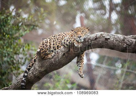 Cheetah sleeping on the tree in zoo