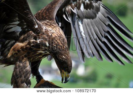 Sea Eagle In The Alps, Austria
