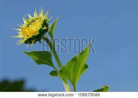 Big Sunflower In The Garden, Thailand
