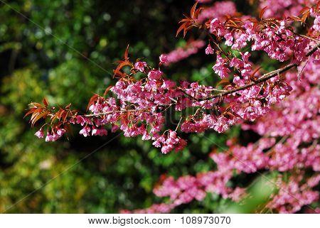 Sakura Pink Cherry Blossom Flower In Chiang Mai, Thailand