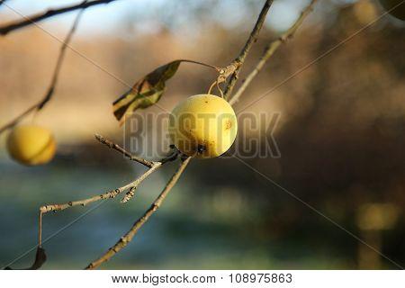 Alone Yellow Apple