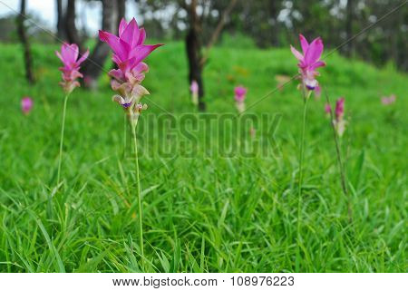Beautiful Wild Siam Tulips Blooming In The Jungle At Chaiyaphum Province, Thailand.