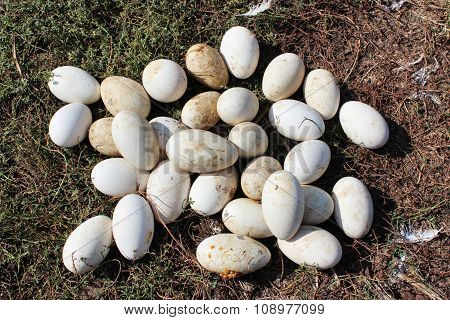 Goose Eggs In The Grass