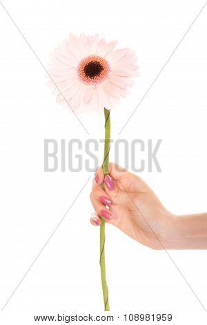 Human Hand Holding Pink Gerbera Daisy Flower.