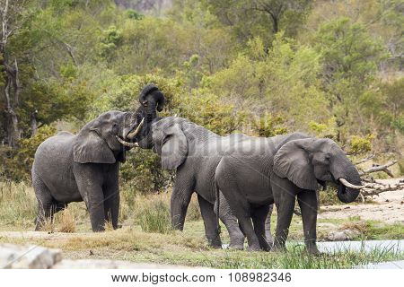 group of african bush elephants in the riverbank