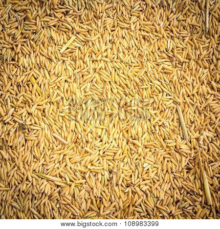 Paddy Rice Background