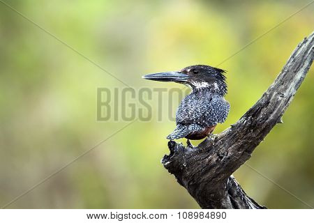 African Giant Kingfisher In Kruger National Park