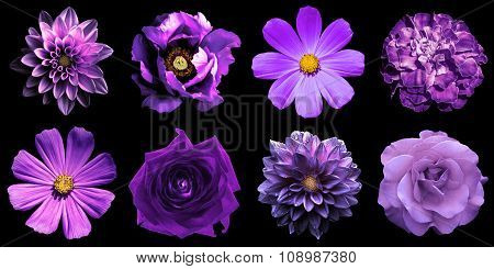 Mix Collage Of Natural And Surreal Violet Flowers 8 In 1: Peony, Dahlias, Roses, Perennial Aster And