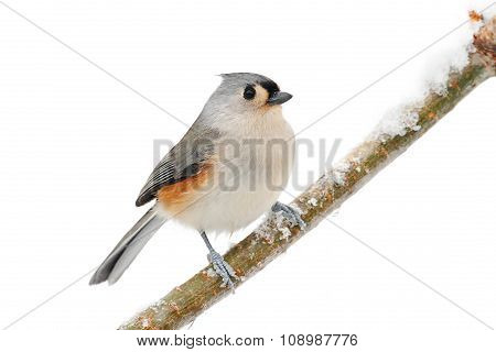 Bird Isolated On White