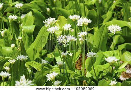 Sunny Spring Day Wild Garlic Flowers