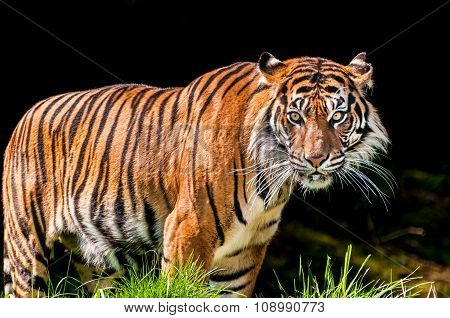 Tiger In Dark Background