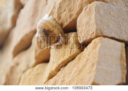snail crawl slowly on the brick wall