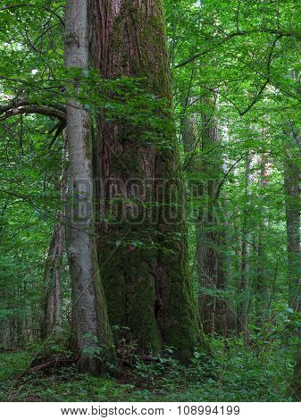 Monumental Linden Tree Of Bialowieza Forest