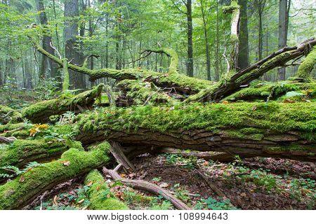 Broken Oak Tree Branch Moss Wrapped