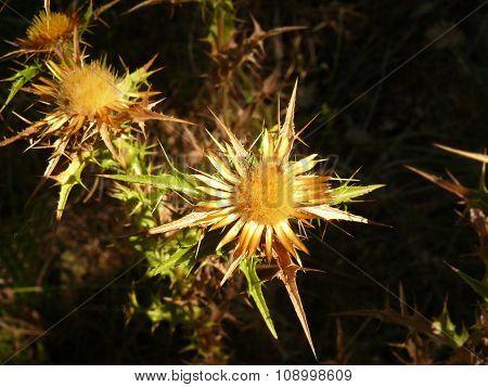 Distel blossom
