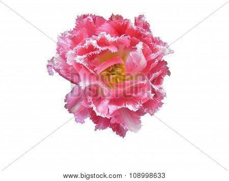 Tulip blossom isolated