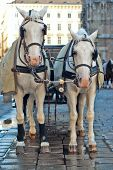 picture of blinders  - Vienna Austria a pair of horses harnessed to a carriage - JPG