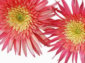 Two Larger Gerbera With An Ant