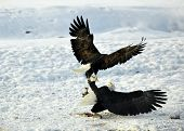 Постер, плакат: Eagles Fight Two Bald Eagles haliaeetus Leucocephalus Washingtoniensis