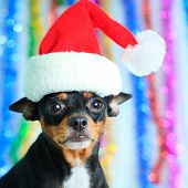 image of santa claus hat  - Toy terrier dog in a Santa - JPG