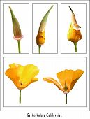 The Opening Of A Californian Poppy