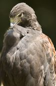 foto of small-hawk  - this is a close up capture of a harris hawk in profile  - JPG