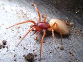 stock photo of woodlouse  - woodlouse spider with latin name dysdera crocata. preys on pill bugs. reddish and cream colored. 