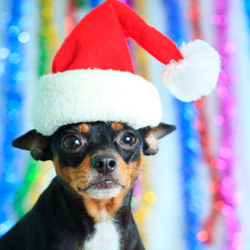 stock photo of santa claus hat  - Toy terrier dog in a Santa - JPG