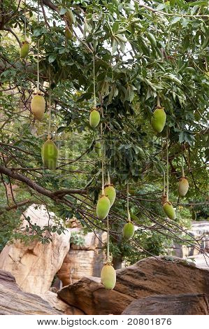 Fruit on a baobab tree in Africa