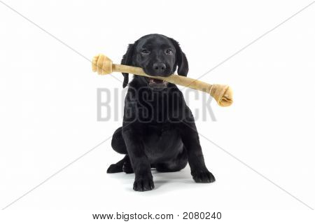 Black Labrador Retriever Playing