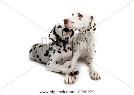 Two Dalmatians Down Cuddling