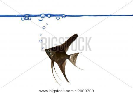 Linha de flutuação e Scalare preto