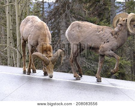 Majestic bighorn sheep in the Rocky Mountains of Colorado walking along licking the salt off the highway between Silverton and Ouray.