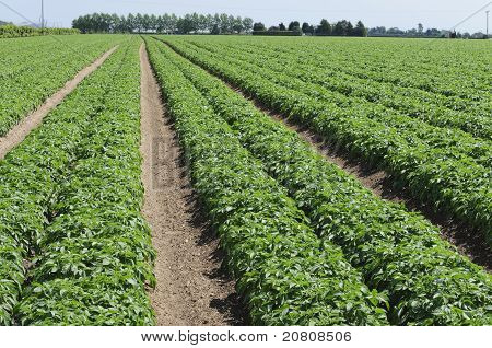 Potato Field Suffolk England Uk