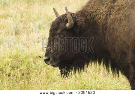 Bison Head 1