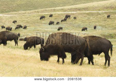 Buffalo Herd 5
