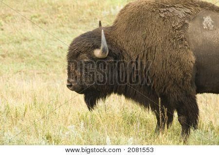 Bull Buffalo 1