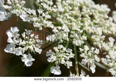 Blooming Hemlock