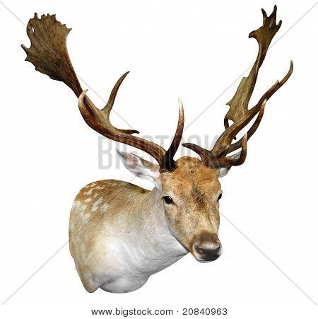 A Mounted Fallow Stag Head