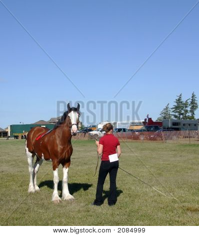 Showing A Clydesdale