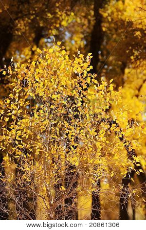 Small Tree With Yellow Leaves