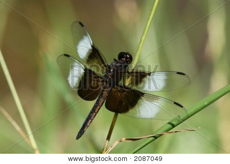 Male Widow Skimmer Dragonfly Resting In The Tall Grass