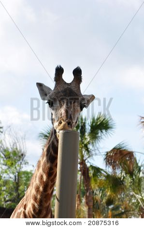 Giraffe And A Pole