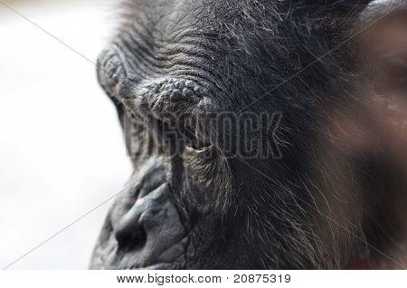 Chimpanzee In Profile
