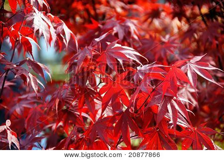 Japanese Red Acer Maple Leaves