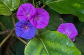 Closeup colorful Ocean Blue morning glory flower in blue purple color, known as koali awa, blue dawn poster