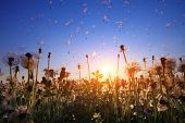 Fluffy dandelions with flying seeds at sunset sky background poster